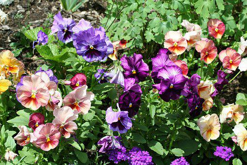 Viola, Pansy, Pansies, Flowers, Blossom, Bloom