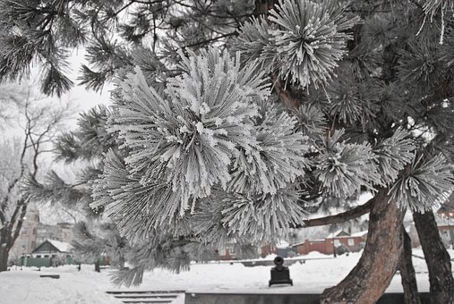 Winter, Spruce, Nature, Trees, Efi, Snow, Pine, Russia