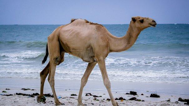 Camel, Kenya, Mombasa, Africa, Animal, Wildlife