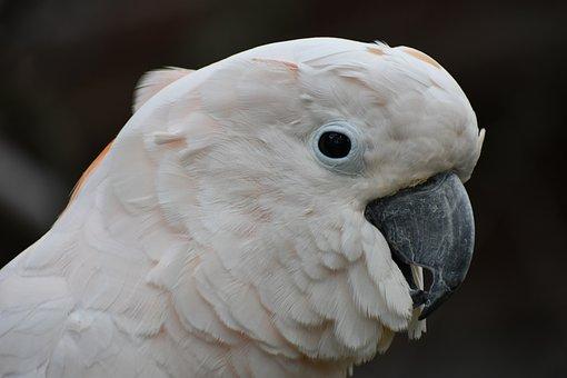Cockatoos, Bird, Head, White, Parrot, Animal, Nature