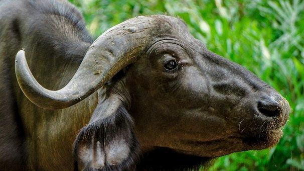 Buffalo, Nature, Wild, Wildlife, Kenya, Mombasa