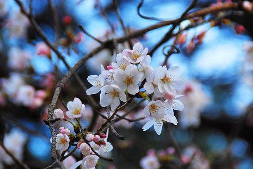 Sakura, Chery Blossom, Flowers, Blossom, Nature, Cherry