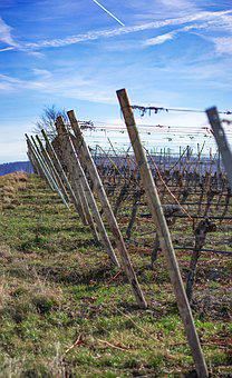 Vineyard, Vine, Details, Structure, Wine, Winegrowing