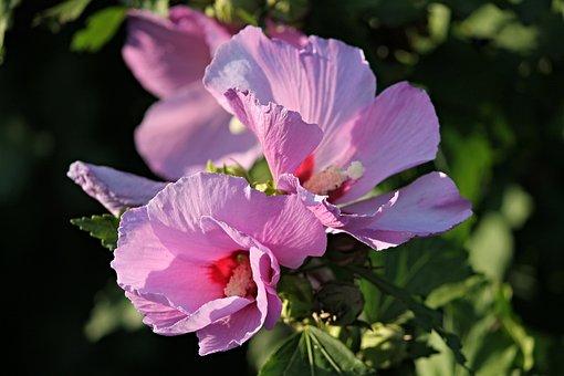 Hibiscus, Marshmallow, Mallow, Blossom, Bloom, Flower