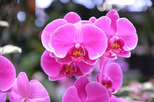 Flower Orchid, Bright Pink Color, Gift Offer