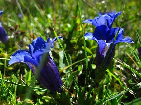 Flower, Blue, Gentian, Acaulis, Wild Flower, Plants