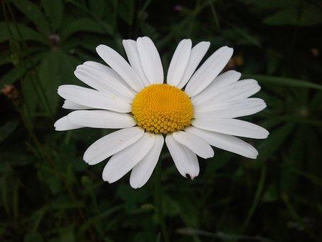 Marguerite, Nature, Garden