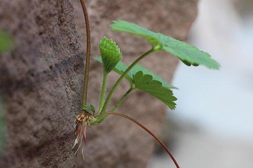Strawberry, Seedling, Green