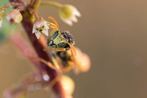 Gallic Field Wasp, Field Wasp, House Feldwespe