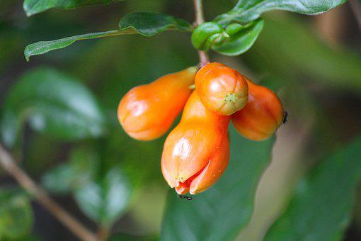 Pomegranate, Fruit, Flower, Food, Healthy, Fresh