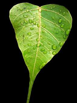 Bodhi Leaf, Pipal Leaf, Green Leaf, Rain Drops