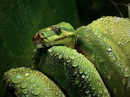 Green, Tree, Snake, Poisonous, Reptile, Wildlife
