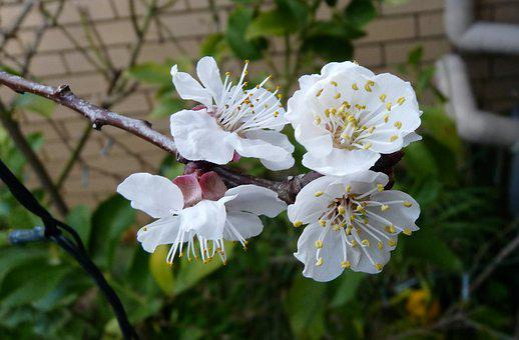 Apricot, Blossom, Tree