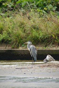 Animal, River, Estuary, Waterside, Wild Birds, Heron