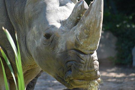 Rinôçérôse, Zoo, Animal, Wild