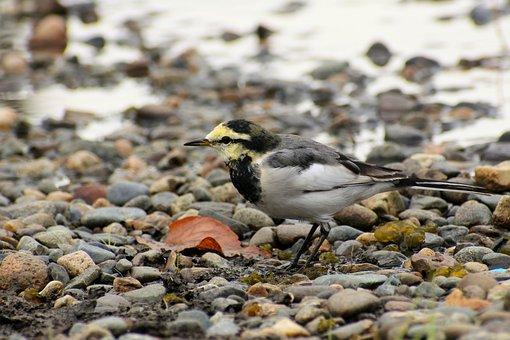 Animal, Pond, Waterside, Stone, Wild Birds, Little Bird