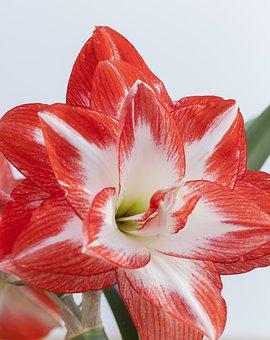 Hippeastrum, It, Known, As Amarylis