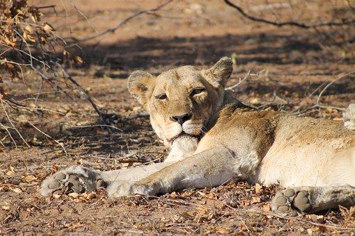 Lion, Lioness, Africa, Safari, Animals, Big Cat