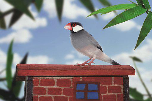 Java Sparrow, Sparrow, Bird, Ave, Little Bird