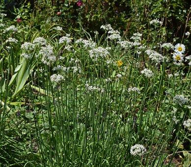 White Allium, Flower, Blossom, Bloom, Plant, Garden
