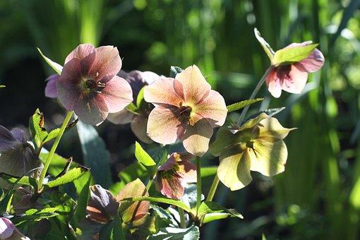 Helleborus, Hellebore, Flower, Bloom, Blossom, Tan