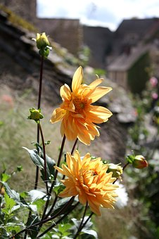 Dahlias, Flowers, Chateauneuf-en-auxois, Burgundy