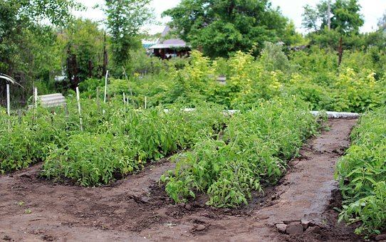 Dacha, Vegetable Garden, Tomatoes, Elitexpo, Plant