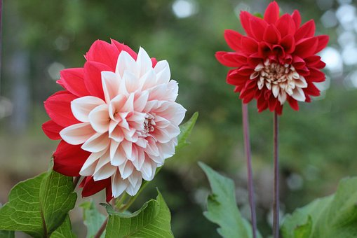 Potato Blossom, Flower, Red And White, Flower Picture