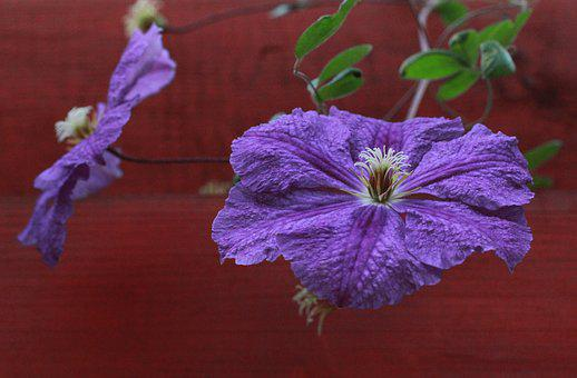 Petunia, Flowers, Garden, Vegetable Garden, Spring