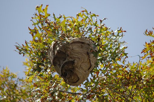 Nest, Wasp, Yellow Jacket, Yellow, Jacket, Insect, Hive