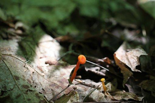 Hygrophorus Miniatus, Or Mycena Leaiana, Mushroom