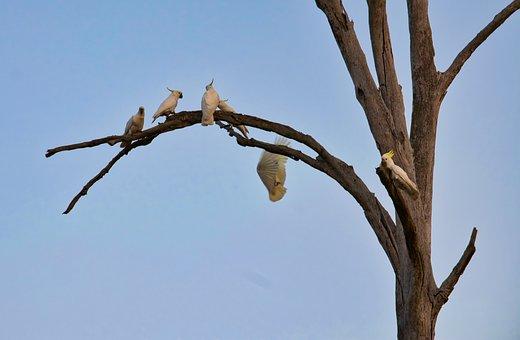 Cockatoo, Perched, Tree, Wildlife, Nature, Australia