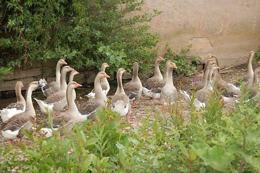 Goose, Group, Bird, Volatile, Ornithology