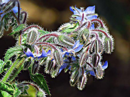 Flower, Plant, Blue, Flowers, The Buds, Nature