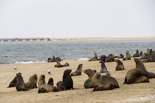 Sea Lions, Seals, Colony, Sea, Walvis, Bay, Namibia