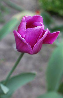 Tulip, Flowers, Garden, Vegetable Garden, Spring