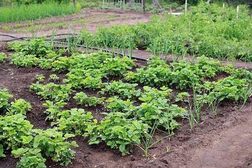 Dacha, Vegetable Garden, Harvest, Summer, Plant