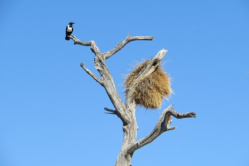 Nest, Africa, Walk, Tree, Namibia, Bird, Republicans