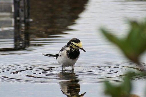 Animal, Pond, Waterside, Wave, Moire, Wild Birds