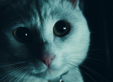 Cat, White, Pet, Animal, Kitten, Cute, Feline, Domestic