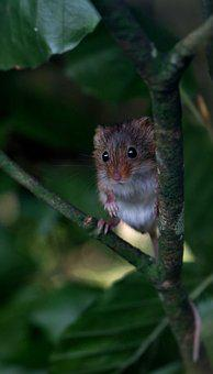 Harvest Mouse, Mouse, Harvest, Animal, Nature, Small