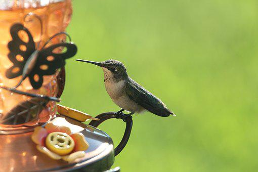 Bird, Hummingbird, Wildlife, Animal, Small, Beak