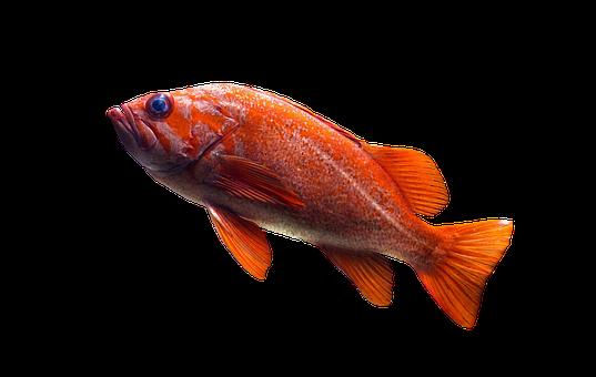 Fish, Goldfish, Aquarium, Water, Pond, Swim