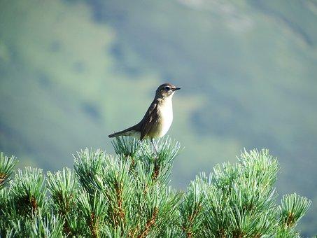 Bird, Morning, Branch, Cedar, Song, Awakening