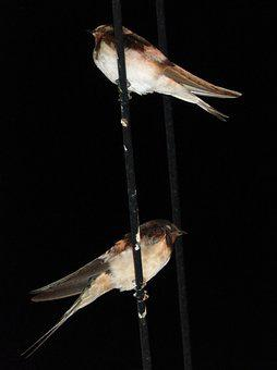 Swallows, Cables, Sleep, Night, Hirundo Rustica