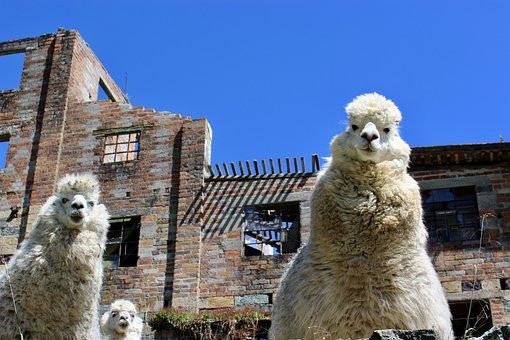 Llama, Camel, Alpaca, Mammal, Wild, Vicuna, Wool, Andes