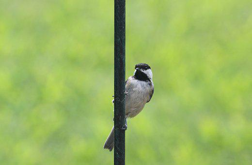 Bird, Chickadee, Nature, Black, Grey, White