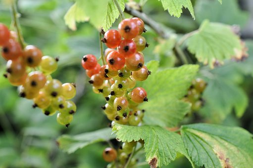 Currants, Shrubs, Berries, Nature, Fruit, Red, Plant