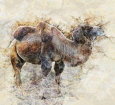 Camel, Desert Animals, Closeup, Desert