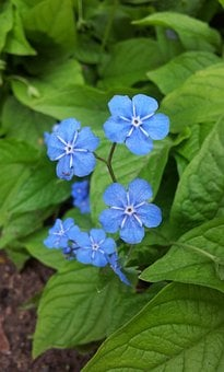 Forget Me Not, Blue, Sky Blue, Flower, Garden, Discount